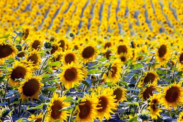Большое поле цветущих подсолнухов в солнечном свете. агрономия, сельское хозяйство и ботаника.