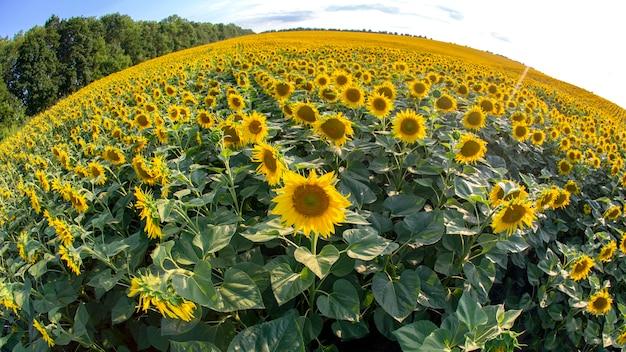 Большое поле цветущих подсолнухов в солнечном свете. агрономия, сельское хозяйство и ботаника