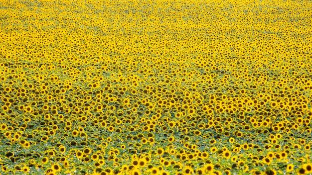 日光の下で咲くひまわりの広いフィールド。農学、農業および植物学。