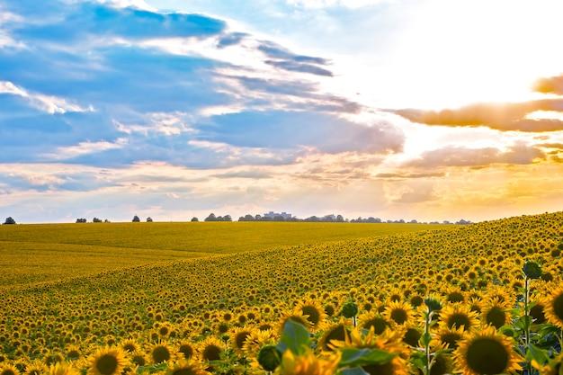 햇빛에 피는 해바라기의 넓은 들판. 농학, 농업 및 식물학