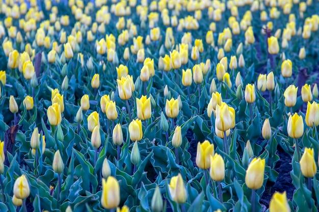 咲く黄色いチューリップの広いフィールド。花と植物学