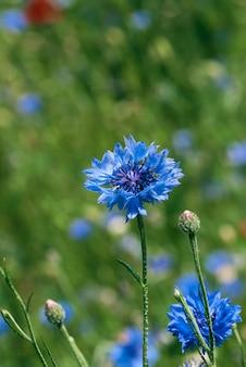 봄 날에 푸른 수레 국화와 녹색 잎 큰 필드