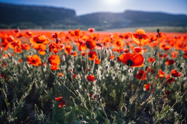 Большое поле с красными маками и зеленой травой на закате. красивые полевые алые цветы маков с
