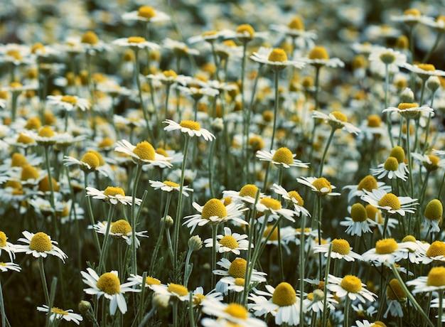 春の日に白い咲くヒナギクの広いフィールド
