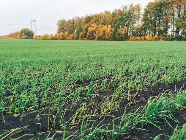 曇りの日には若い緑の草が生い茂る広い畑1