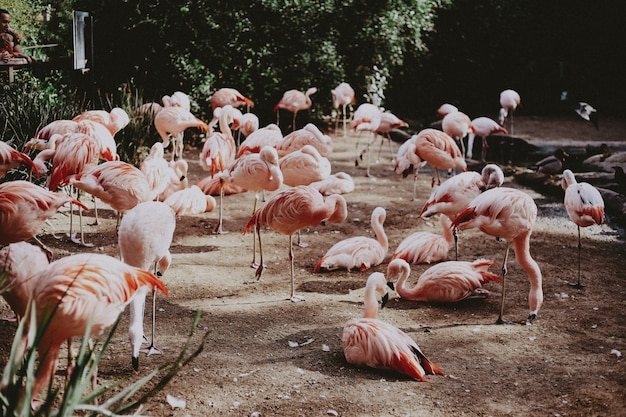 Large flock of beautiful pink flamingos in an exotic tropical field