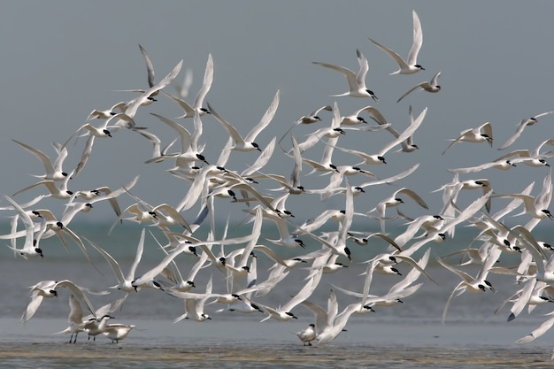 A large flock of a  sandwich tern (thalasseus sandvicensis) in flight