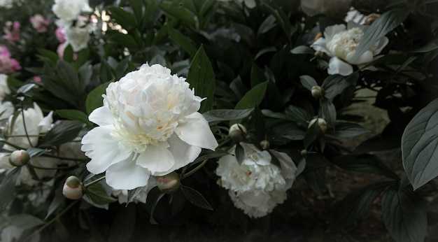 Large flower of white peonies on a bush close-up.