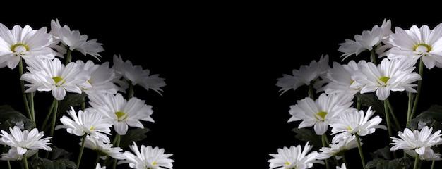黒の背景に秋のlevcantemellaカモミールの大きな花