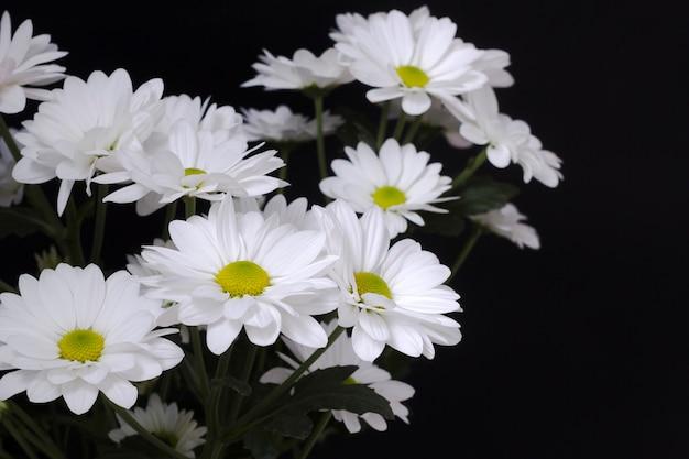 黒の背景に白いカモミールlevcantemellaの大きな花