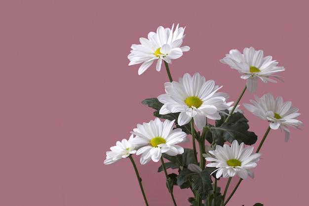 ピンクの背景に白いカモミールlevcantemellaの大きな花