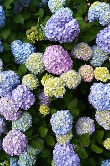 녹색 수국 부시 근접 촬영에 큰 꽃