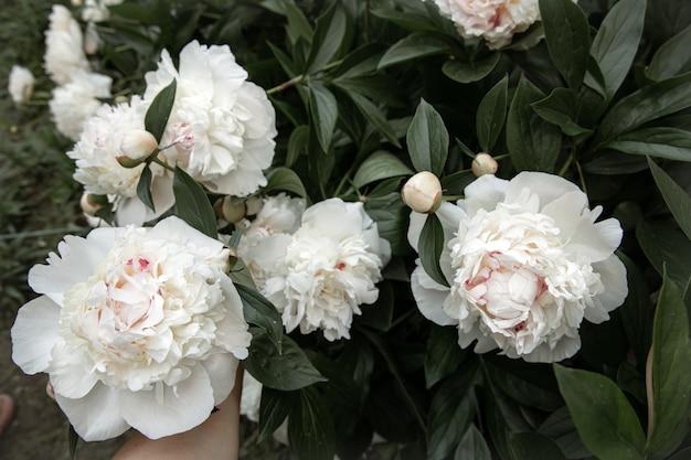 Grandi fiori di peonie bianche su un primo piano di un cespuglio