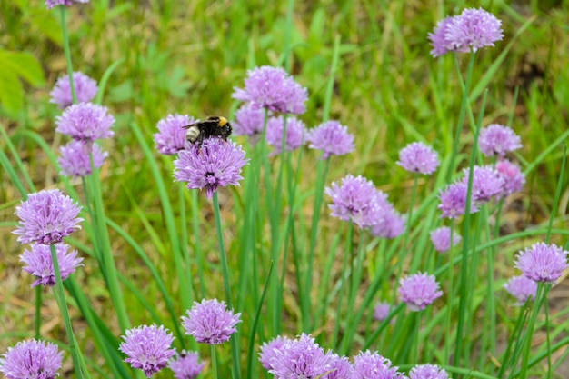 紫色の「チャイブ」の花(または野生のチャイブ、開花タマネギ、ニラ、チャイブ、シュニットラウフ)を汚染する大きなふわふわのマルハナバチ(bombus terrestris)。そのラテン語の名前はalliumschoenoprasumです。