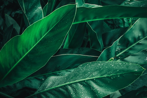Large foliage of tropical leaf in dark green with rain water drop texture