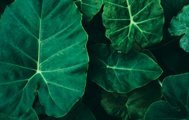 Large foliage of tropical leaf with dark green texture