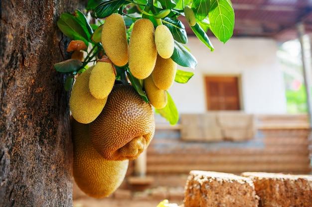Large fresh fruits of jackfruit hang on a tree