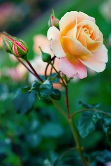 緑の葉に雨滴と黄色いバラの大きな豪華なつぼみ