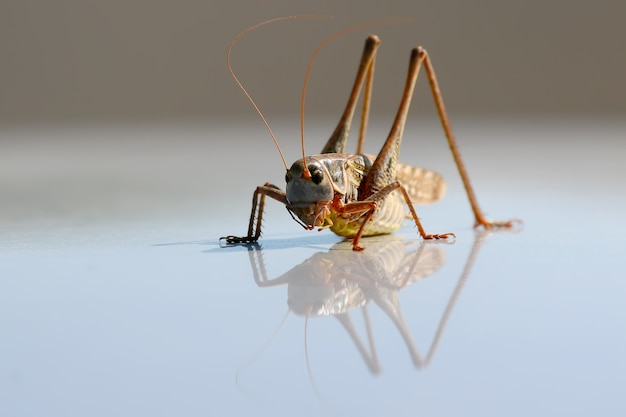 A large grasshopper is reflected in a metal surface