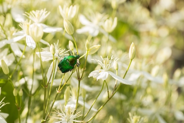 A large green beetle on the bush with white flowers
