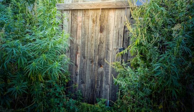 Большие зеленые кусты конопли возле деревянных ворот
