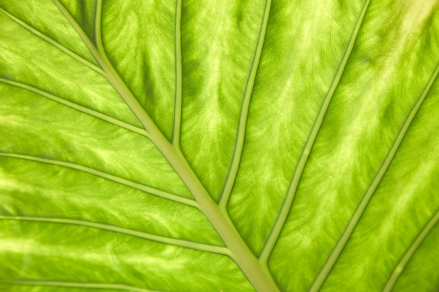 A large green leaf of a tropical plant close-up. natural texture. macro