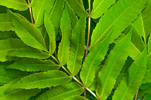 Large green leaves close up background