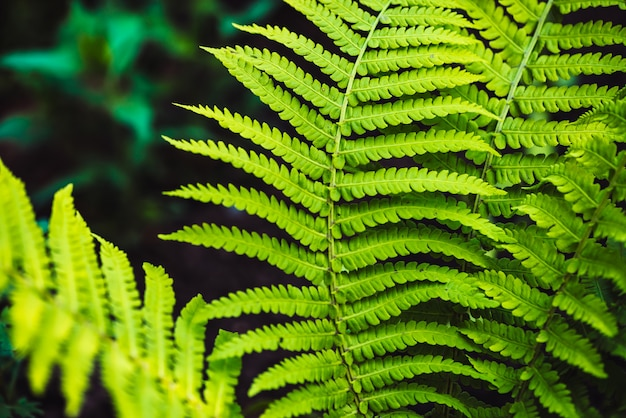 Large green leaves of fern close-up. detailed background of big foliage with copyspace. textured leaf of polypodiales.