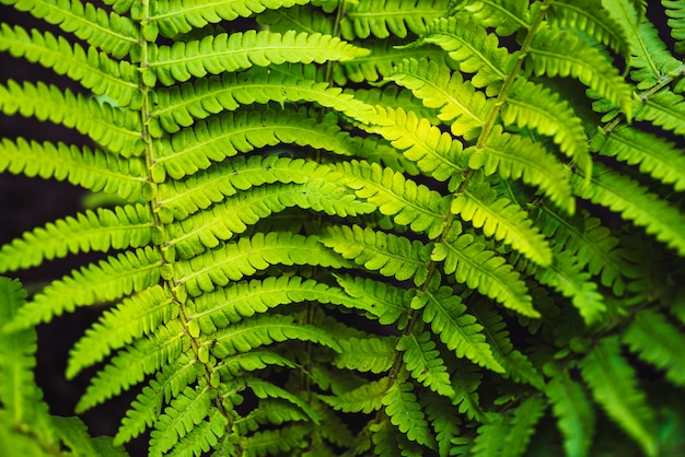 Large green leaves of fern close-up.