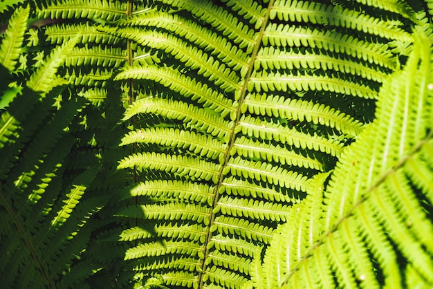 Large green leaves of fern close-up