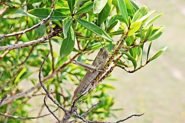 Большая зеленая саранча на крупном плане ветви.