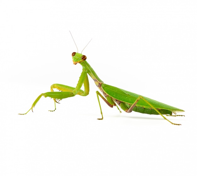 Large green mantis on white