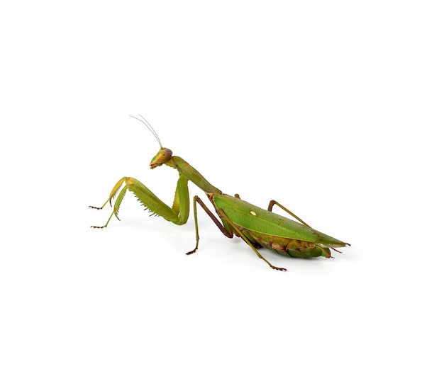 Large green mantis with long antennas stands sideways