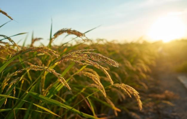 행에 녹색 쌀 식물을 가진 큰 녹색 쌀 필드