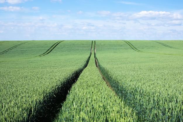 Большое зеленое пшеничное поле