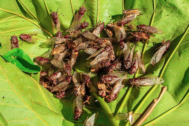A large group of cicadas spreading their wings and swarming on the leaves.