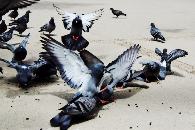 Большая группа голубей ест семена с земли