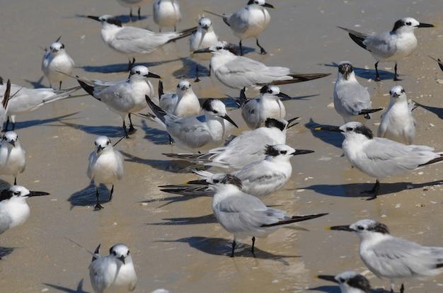 Большая группа птиц крачка сэндвич собралась вместе на пляже.