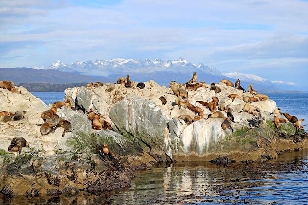 Большая группа морских львов на скалистом острове ла-исла-де-лос-лобос в проливе бигл, ушуайя, патагония, аргентина Premium Фотографии