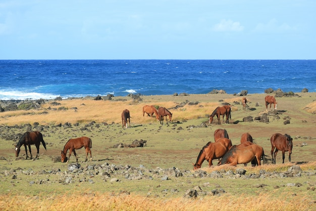 Large group of wild horses grazing at the shore of pacific ocean on easter island, chile, south america
