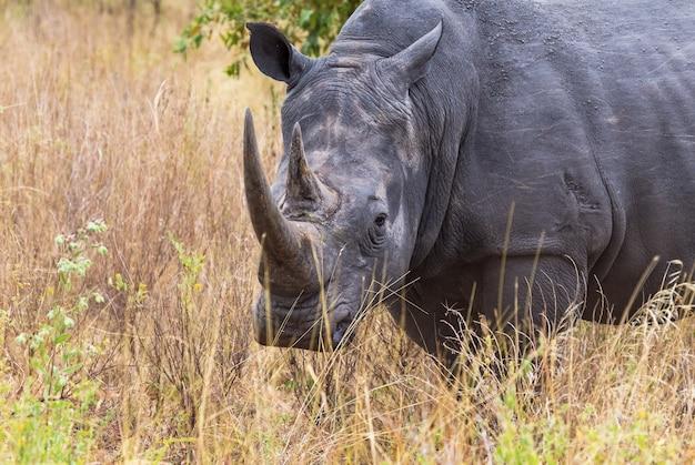 Большая голова портрет большого носорога меру кения