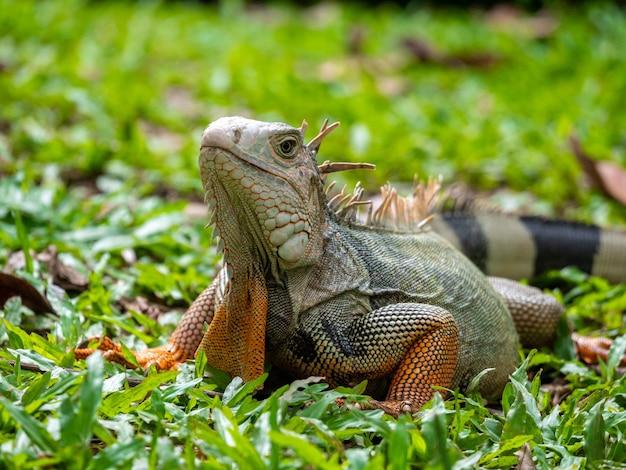 잔디를 응시하는 대형 초식 도마뱀