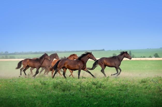 Летом по полю скачет большое стадо красивых лошадей. мустанги против голубого неба