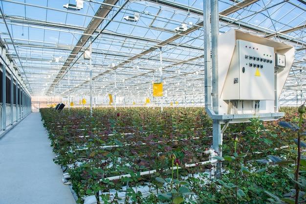 Большая промышленная теплица с голландскими розами и электрической панелью приборов