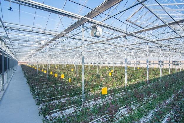Большая промышленная теплица с голландскими розами, общий план