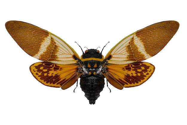 Large insect. anganiana flordula cicada flying insect. wings and antennae of a flying insect. the world of wildlife.