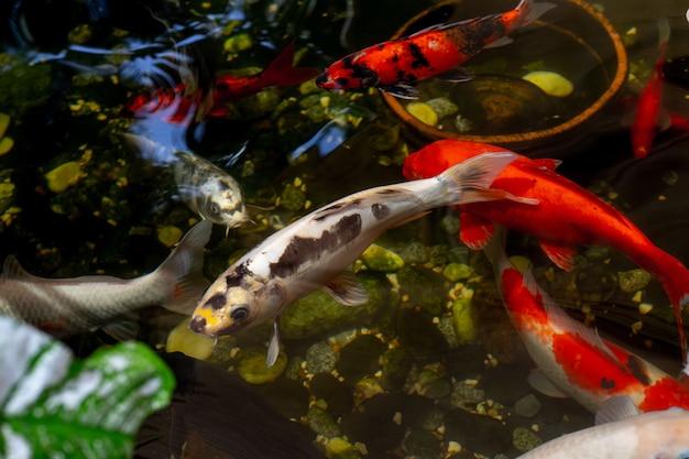 水中を泳ぐ大きな鯉、上面図