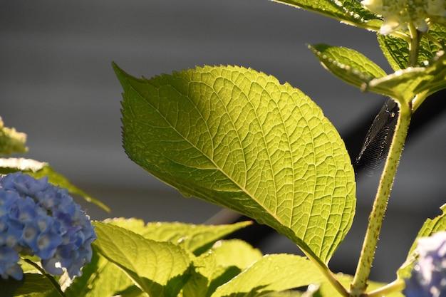夏に蜘蛛の巣を持つ大きな葉のアジサイの茂み