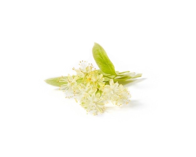 Ветка крупнолистной липы или тилии, покрытая небольшими желтыми ароматными цветками, изолированными на белом фоне, копирует пространство. лекарственное растение