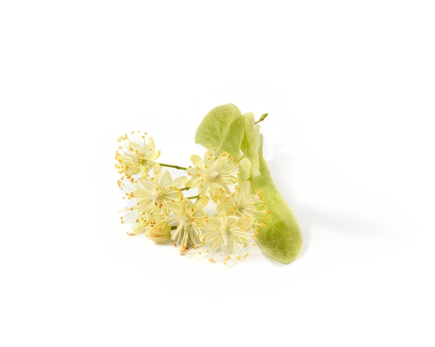 Large-leaf linden or tilia blossoming branch covered with small yellow fragrant flowers isolated on a white background, copy space. medicinal plant